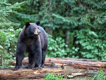 Amerikansk svart björn royaltyfria foton
