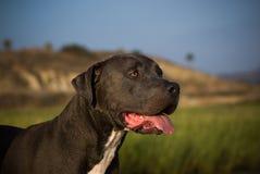 amerikansk terrier för tjurhundgrop Royaltyfri Bild