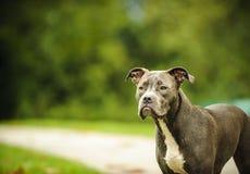 amerikansk terrier för tjurhundgrop Royaltyfria Foton