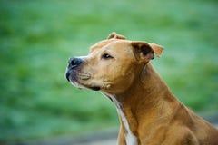 amerikansk terrier för tjurhundgrop Arkivbilder