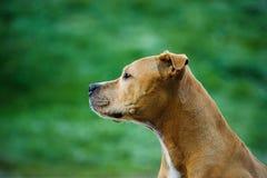 amerikansk terrier för tjurhundgrop Royaltyfri Fotografi