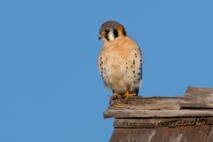 Amerikansk tornfalk (Falcosparveriusen) Royaltyfria Foton