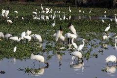Amerikansk trä-stork, americana Mycteria Royaltyfria Bilder