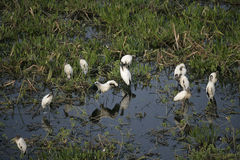 Amerikansk trä-stork, americana Mycteria Royaltyfri Fotografi