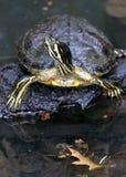 Amerikansk träsksköldpadda eller gemensam sköldpadda för häftklammermatareTrachemys scripta som tillhör familjen av hemidides arkivfoto