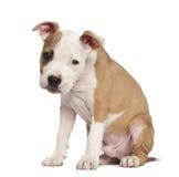 amerikansk valpstaffordshire terrier Royaltyfria Foton