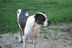 Amerikansk vit bulldoggbrunt som är brindled och Arkivfoto