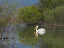 Amerikansk vit pelikan i vatten Arkivfoto