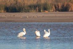 Amerikansk vit pelikan som öppnar hans halspåse i Santaet Clara River på Ventura California USA fotografering för bildbyråer