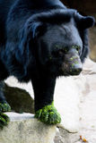 amerikansk wild björnblack Arkivbilder