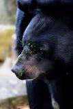 amerikansk wild björnblack Royaltyfri Foto