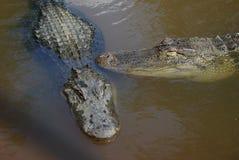 amerikanska alligatorer Royaltyfri Bild