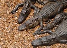 amerikanska alligatorer Royaltyfria Foton