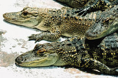 amerikanska alligatorer Arkivfoton
