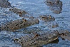 Amerikanska alligatorer i Florida Fotografering för Bildbyråer