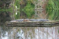 Amerikanska alligatorer på en flotte Royaltyfria Bilder