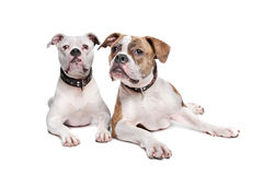amerikanska bulldoggar två Royaltyfri Fotografi