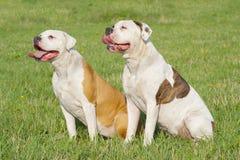 amerikanska bulldoggar två Fotografering för Bildbyråer