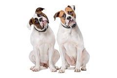 amerikanska bulldoggar två Arkivbild