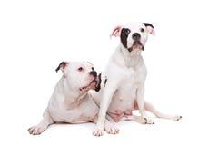 amerikanska bulldoggar två Royaltyfria Bilder