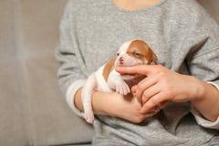 Amerikanska bulldoggvalpar i armarna av en flicka royaltyfri fotografi