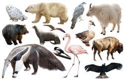 Amerikanska djur som isoleras på vit Royaltyfria Bilder
