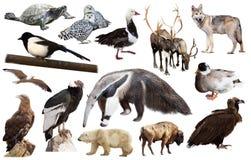 Amerikanska djur som isoleras på vit Arkivbilder