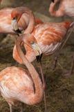 Amerikanska flamingo/den amerikanska flamingoPhoenicopterus ruberen är stor art av flamingo Royaltyfria Bilder