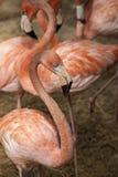 Amerikanska flamingo/den amerikanska flamingoPhoenicopterus ruberen är stor art av flamingo Arkivfoton