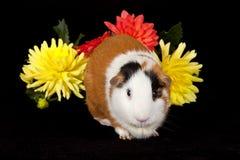 Amerikanska försökskaniner (Caviaporcellusen) Royaltyfria Bilder