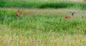 2 amerikanska hjortar i ett högväxt gräs- fält royaltyfri foto