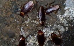 Amerikanska kackerlackor royaltyfria bilder