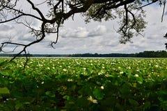 Amerikanska lotusblommaväxter på sjön Pymatuning Royaltyfri Foto