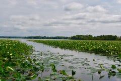 Amerikanska lotusblommaväxter på sjön sceniska Pymatuning Arkivfoton