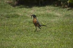 Amerikanska Robin Bird med avmaskar i munflygturer på gräsmatta för grönt gräs arkivfoto