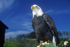 Amerikanska skalliga Eagle, duvagaffel, TN fotografering för bildbyråer