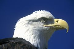 Amerikanska skalliga Eagle, duvagaffel, TN royaltyfri bild