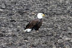 Amerikanska skalliga Eagle i ett plogat fält Arkivfoton