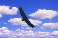 Amerikanska skalliga Eagle i flykten, duvagaffel, TN royaltyfri foto