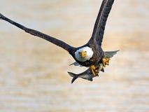 Amerikanska skalliga Eagle med fisken arkivfoto