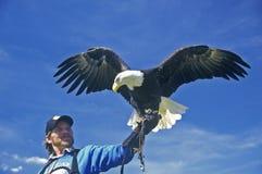 Amerikanska skalliga Eagle med vårdaren, duvagaffel, TN Arkivbilder