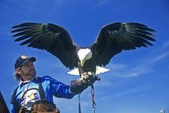 Amerikanska skalliga Eagle med vårdaren, duvagaffel, TN Arkivfoton