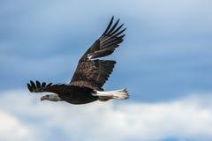 Amerikanska skalliga Eagle på Alaska arkivfoton