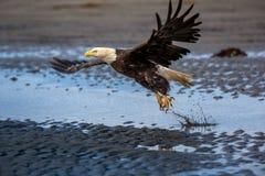 Amerikanska skalliga Eagle på Alaska royaltyfri foto
