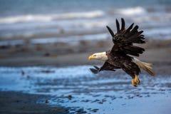 Amerikanska skalliga Eagle på Alaska royaltyfria bilder