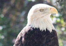 Amerikanska skalliga Eagle vänder mot skottet Arkivbilder