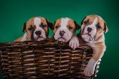 Amerikanska staffordshire för valp terrier Royaltyfri Fotografi