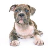 Amerikanska staffordshire för valp terrier Royaltyfria Bilder