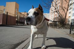 amerikanska staffordshire terrier Arkivbilder