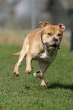 amerikanska staffordshire terrier arkivfoto